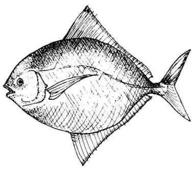 The White Pomfret