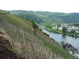 260px-vineyard_zell_germany.jpg