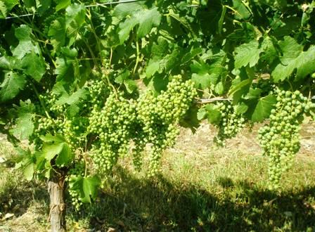 young-merlot-grapes.jpg