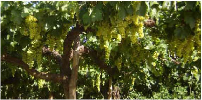 Wine: Torrontes, a South American summer white