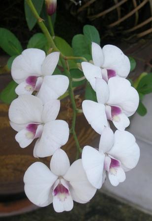 bkk-orchids11